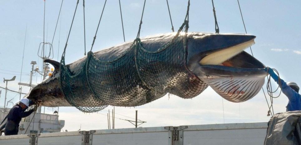 Giappone, dal 2019 riparte la caccia alle balene