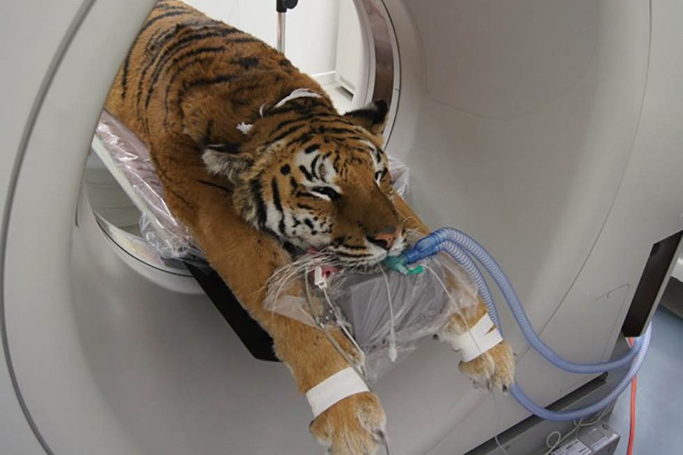 Parma, tigre curata con una tac