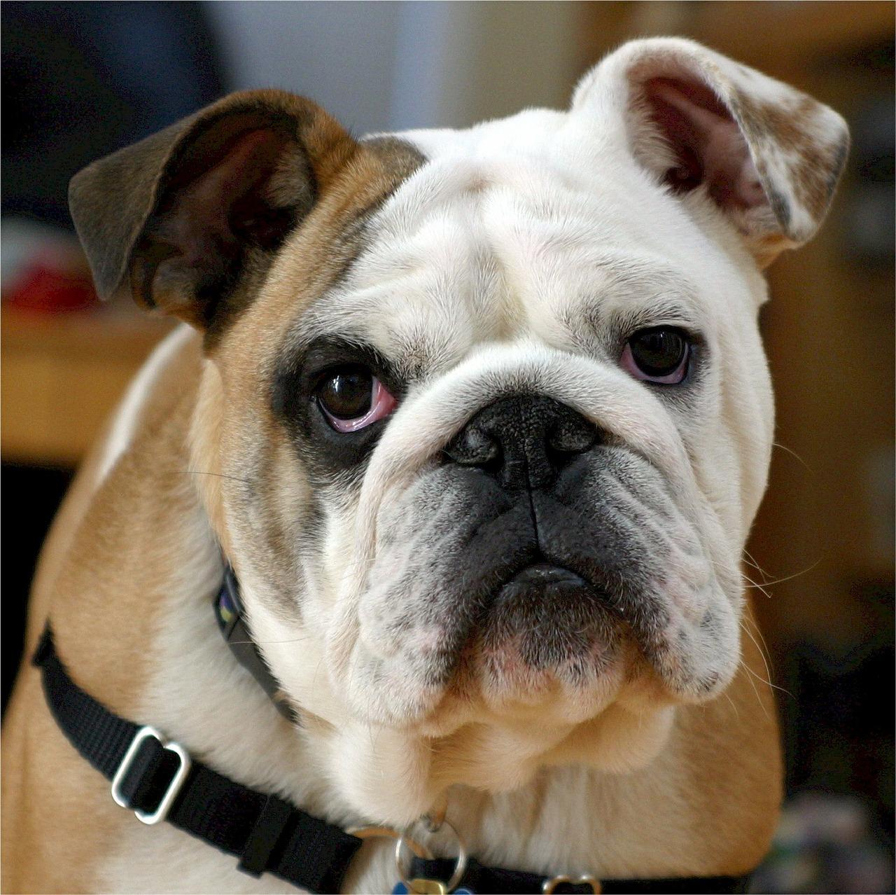 Sindrome di Robinow, nel Dna dei bulldog il segreto