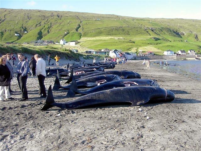 Capodanno di sangue alle Isole Faroe, uccise 70 balene