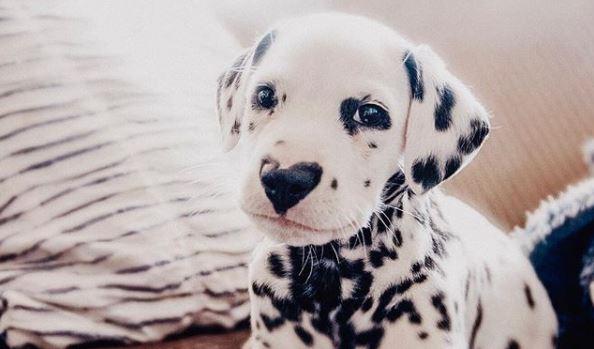 Wiley, le FOTO del cucciolo di Dalmata con il naso a cuore che conquista il web