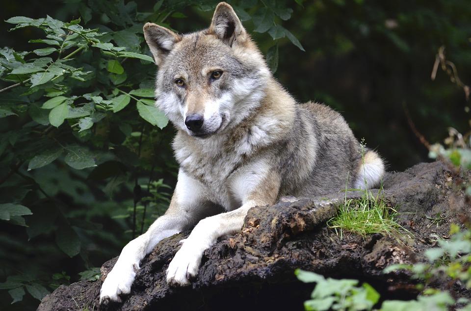 Ambiente, pronto un nuovo piano per la salvaguardia del lupo