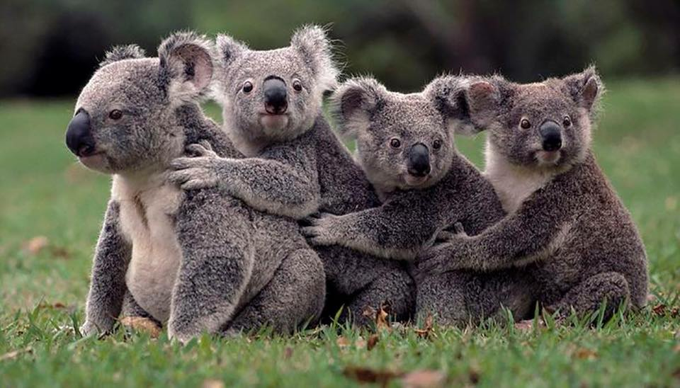 """Ultimi esemplari di koala: sono """"funzionalmente estinti"""""""