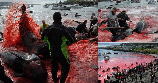 Mattanza sfrenata, oltre 150 balene pilota massacrate alle isole Faroe