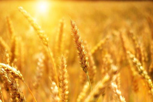 Al via la terza edizione di Grani futuri, la cultura del buon pane alla portata di tutti