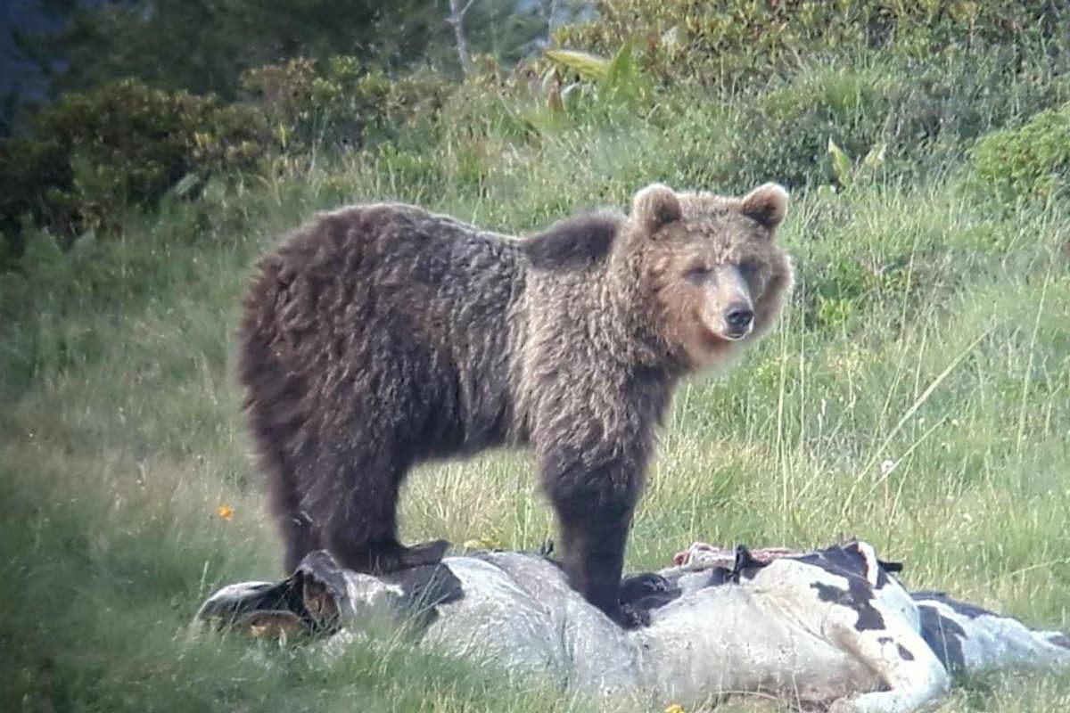 L'orso M49 fuggito da un recinto a Trento rischia l'abbattimento, alt dal Ministero