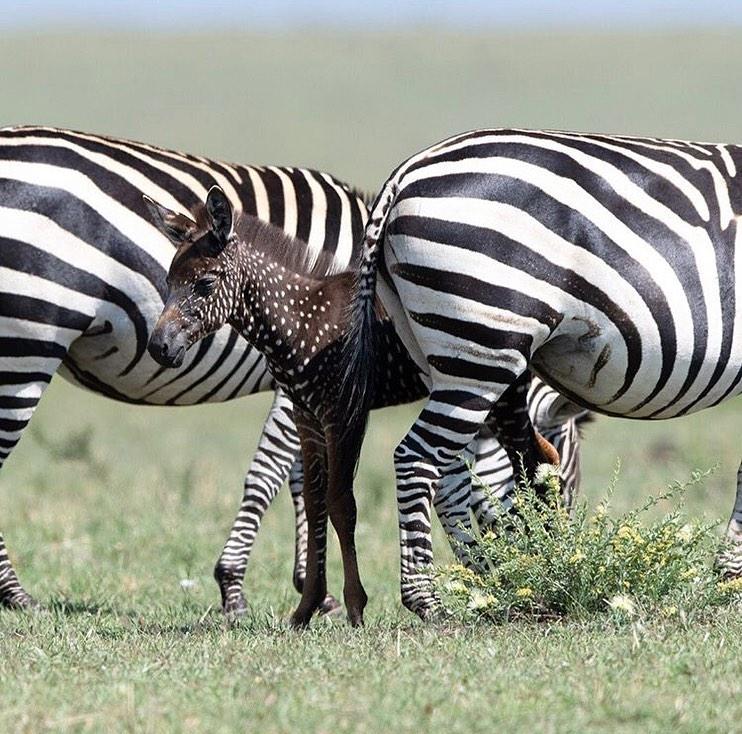 Una zebra a pois è nata nella riserva Masai Mara in Kenya