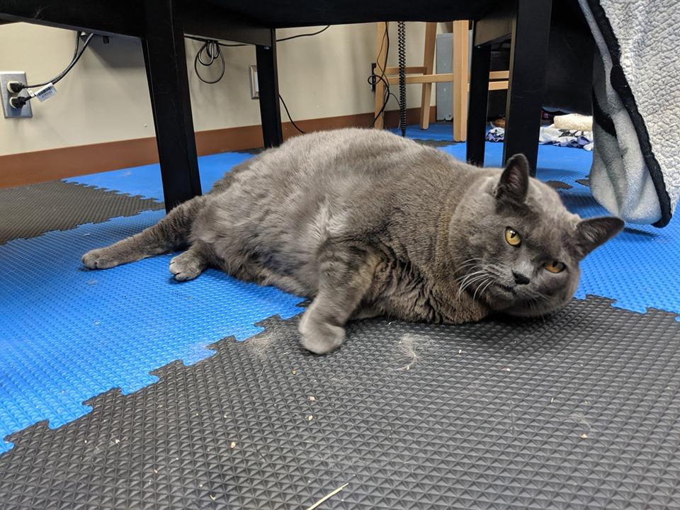 Vi presento Cinder, la gatta obesa che deve dimagrire sotto l'occhio dei social