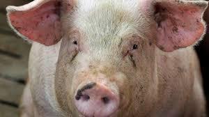 Uccise un maiale con un colpo di pistola, arrestato