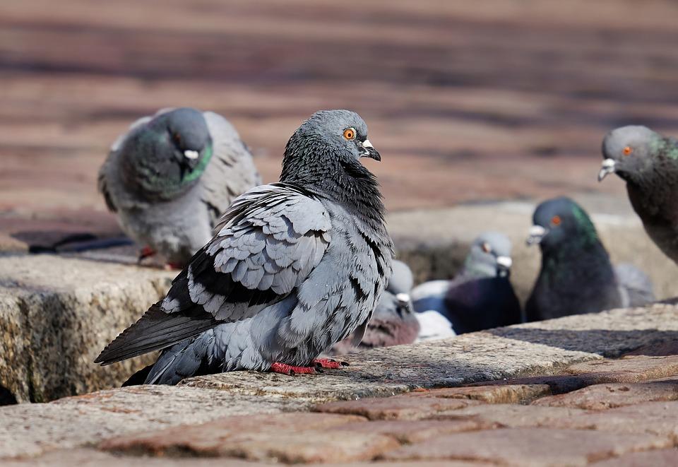 I piccioni di Parigi mutilati per colpa dell'inquinamento e dei… parrucchieri